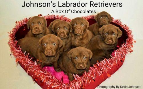 Labrador Retriever Puppies for sale in Murfreesboro, TN, USA. price 1000USD
