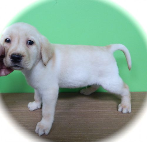 Labrador Puppies For Sale In Chicago