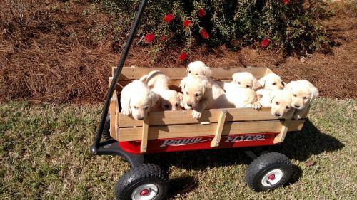 Labrador Retriever Puppies for sale in Louisville, GA 30434, USA. price 550USD
