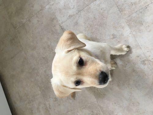 Labrador Retriever Puppies for sale in Gurnee, IL, USA. price 800USD