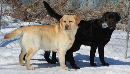 labrador retriever dogs