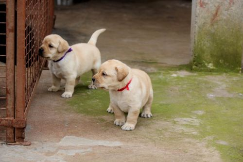 labrador retriever puppies