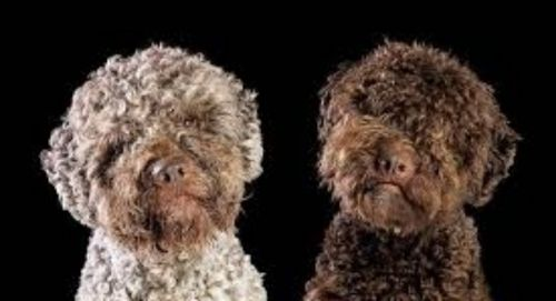 lagotto romagnolo dogs