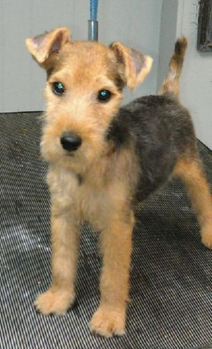lakeland terrier puppy