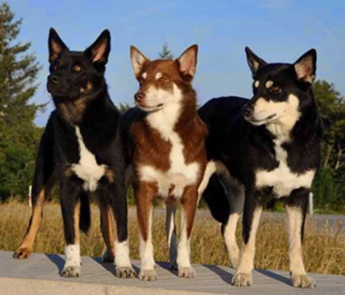 lapponian herder dogs