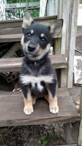 lapponian herder puppy