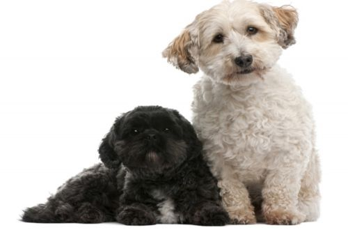 lhasapoo dogs