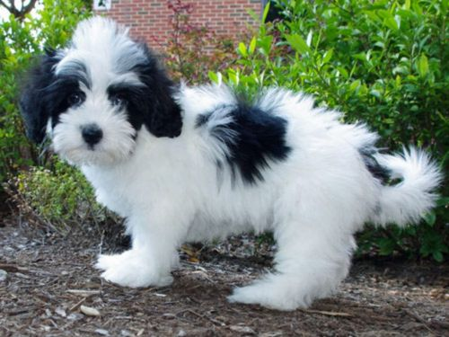 lhasapoo puppy