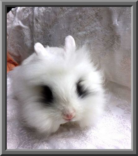 Lionhead rabbit Rabbits for sale in Floral City, FL 34436, USA. price 20USD