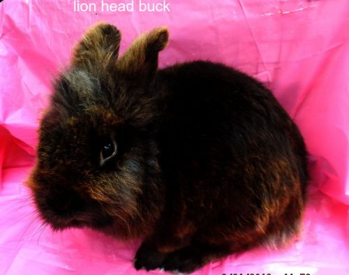 Lionhead rabbit Rabbits for sale in Floral City, FL 34436, USA. price 30USD
