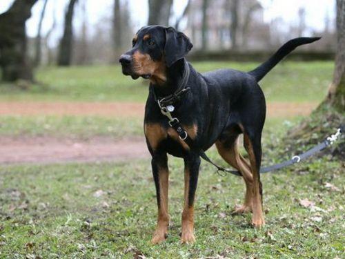 lithuanian hound dog