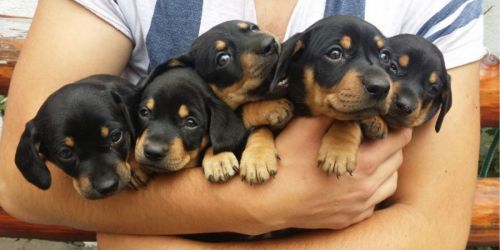 lithuanian hound puppies