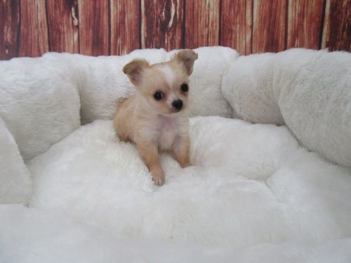 Long Haired Chihuahua Puppies for sale in Orange County, CA, USA. price 975USD