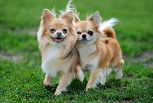 long haired chihuahua dogs