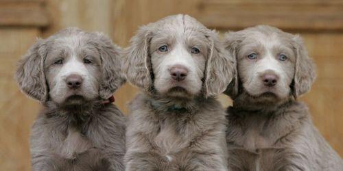 longhaired weimaraner puppies