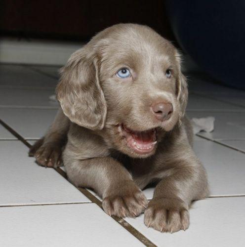 longhaired weimaraner puppy