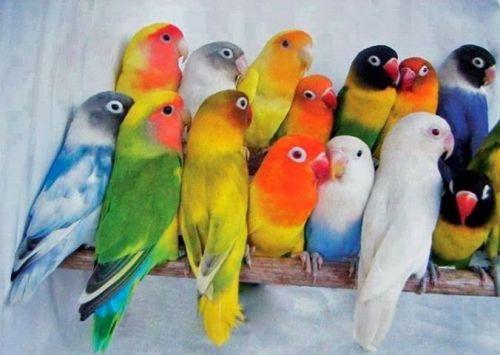 Lovebird Birds for sale in Nashville, TN, USA. price 100USD