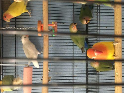 Lovebird Birds for sale in Louisville, KY, USA. price 60USD