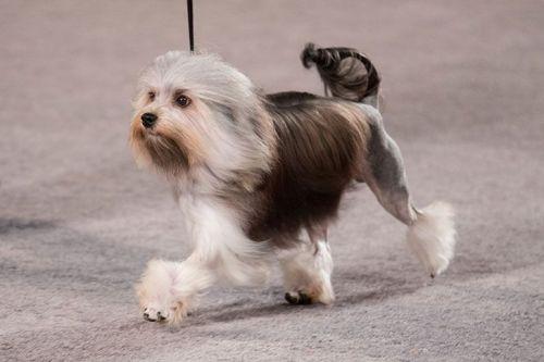 lowchen dog