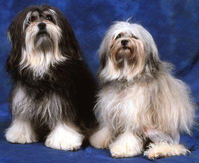 lowchen dogs
