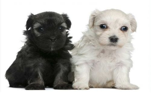 lowchen puppies