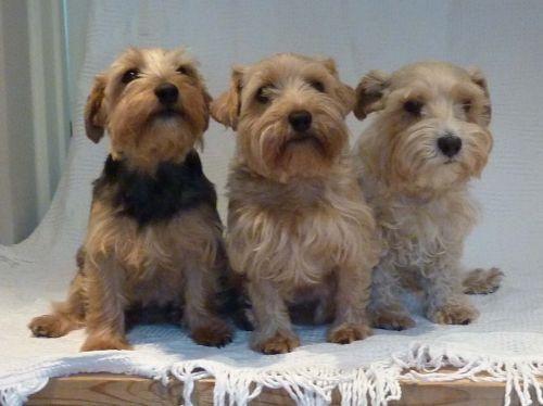 lucas terrier dogs