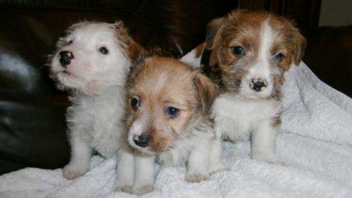 lucas terrier puppies