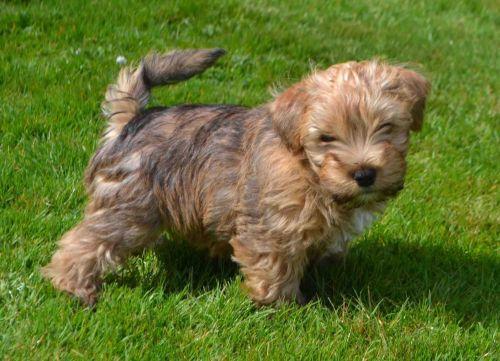 lucas terrier puppy