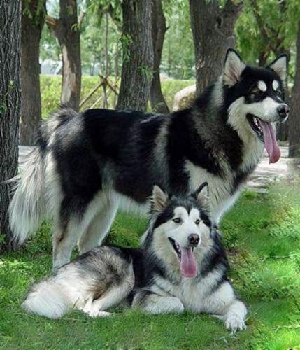 mackenzie river husky dogs