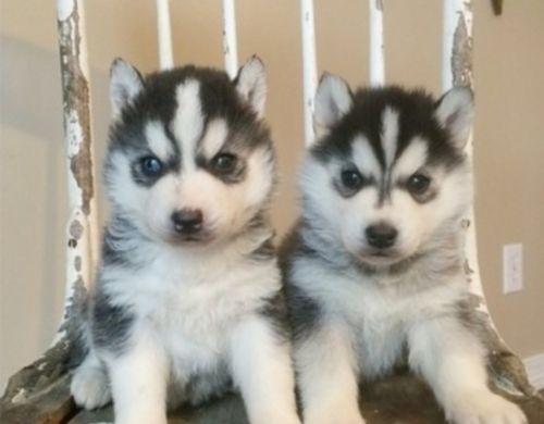 mackenzie river husky puppies