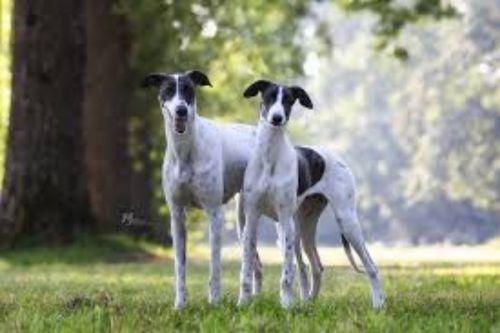 magyar agar dogs