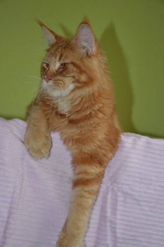 Maine Coon Cats for sale in Elk Grove Village, IL 60009, USA. price 600USD