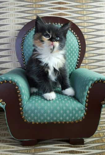 Maine Coon Cats for sale in Burlington, WI 53105, USA. price 850USD