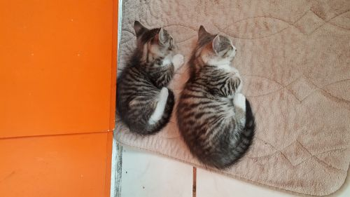 Maine Coon Cats for sale in Torrance, CA, USA. price 200USD