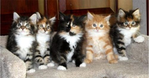 Maine Coon Cats For Sale New York Ny 200136 Petzlover