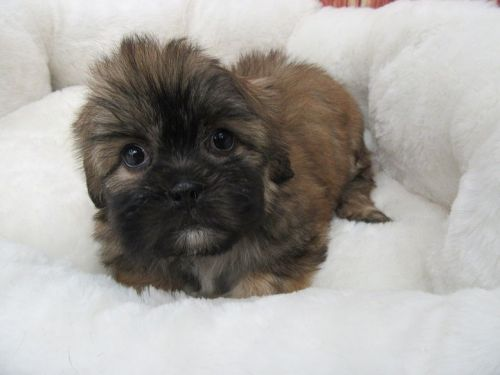Mal-Shi Puppies for sale in Orange County, CA, USA. price 975USD