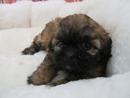 Mal-Shi Puppies for sale in Orange County, CA, USA. price 1075USD