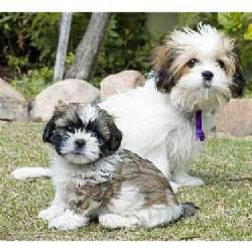 mal shi puppies