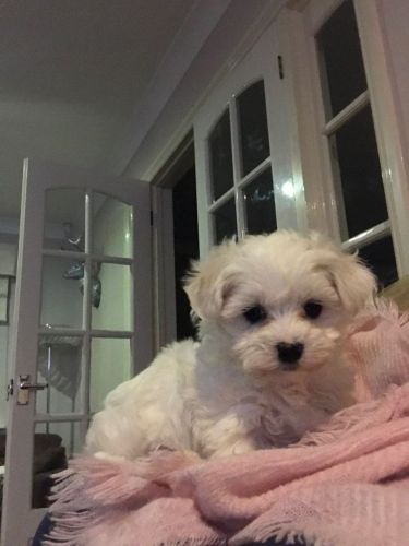 maltese puppy for sale in ny maltese puppies for sale new york ny 189492 petzlover 831