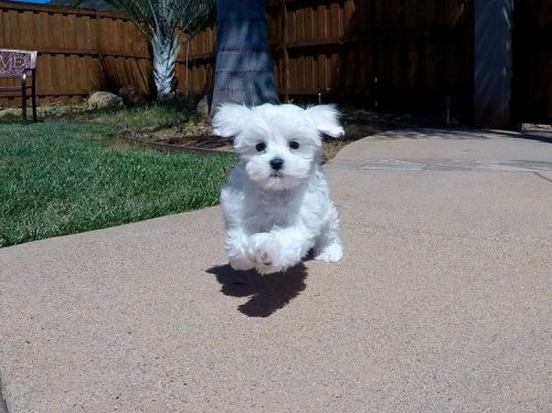 Maltese Puppies for sale in Fort Lauderdale, FL, USA. price 600USD