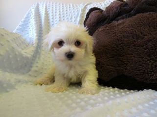 Maltese Puppies for sale in New York County, NY, USA. price 400USD