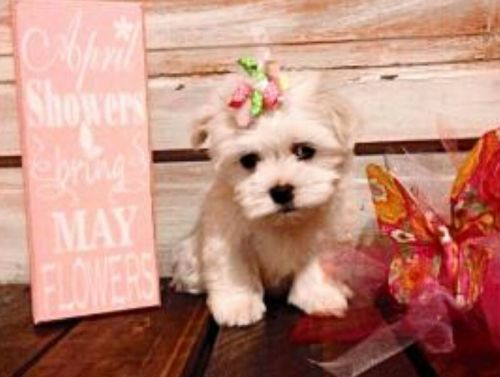 maltese puppies for sale in sc maltese puppies for sale north myrtle beach sc 192956 3721