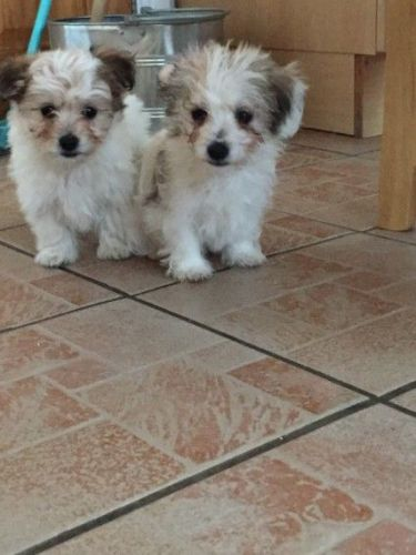 maltese breeders in michigan maltese puppies for sale ann arbor mi 197166 petzlover 228