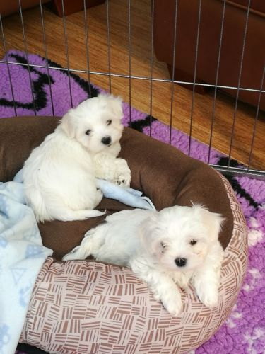 By Photo Congress || Maltipoo Puppy For Sale Indiana