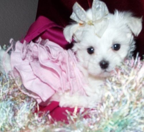 maltese puppies for sale in houston texas