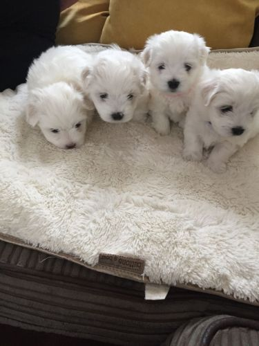 maltese puppy for sale in ohio maltese puppies for sale columbus oh 198493 petzlover 6466