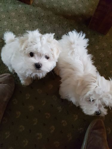 maltese puppy for sale in ohio maltese puppies for sale columbus oh 198493 petzlover 7642