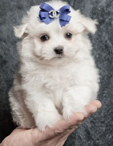 maltese puppy for sale in ny maltese puppies for sale new york ny 200444 petzlover 9308