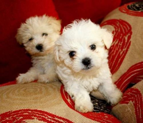 maltese puppy for sale in ny maltese puppies for sale new york ny 200444 petzlover 2853