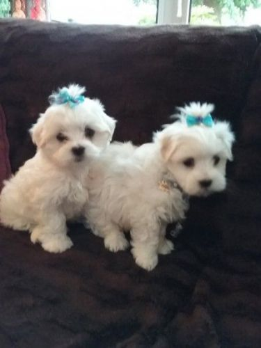 maltese puppies for sale in ms maltese puppies for sale lake cormorant ms 202558 365
